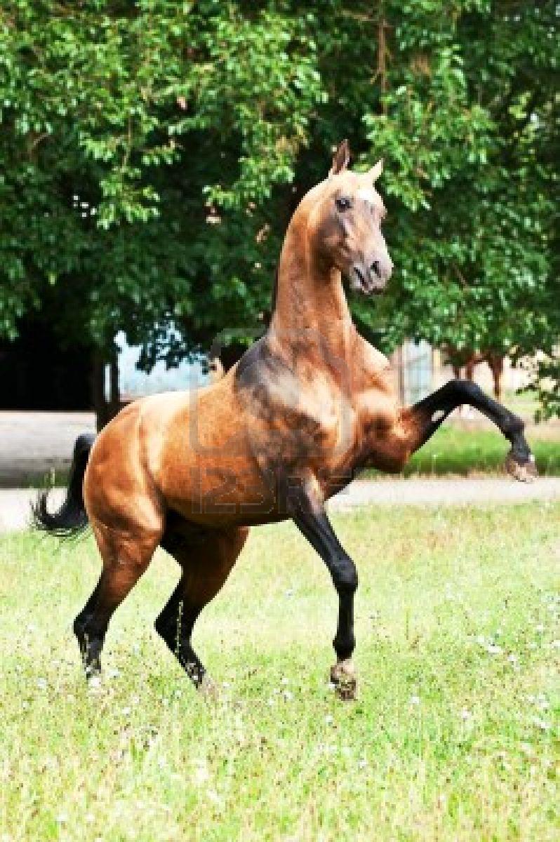 HD Animals Wallpapers: Akhal-Teke Horse