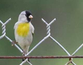 Photo of male Lawrence's Goldfinch on chain link fence