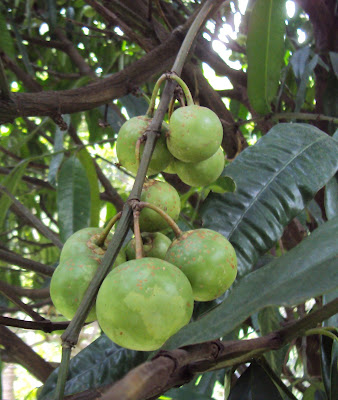 Batuan (Garcinia Binucao) Overview, Health Benefits, Side effects