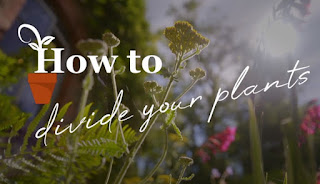 How to divide plants