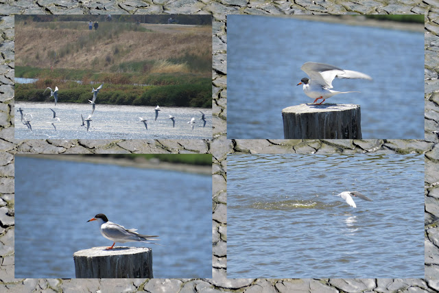 Birding in Palo Alto California - Common Terns