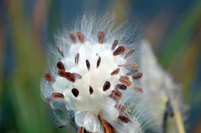 The cottony fluff transports milkweed seeds on the wind.