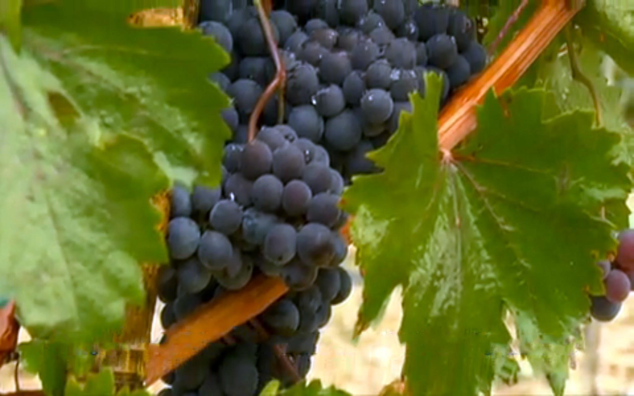vinedo vid uvas georgia enoturismo turismo vino