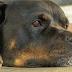 Πώς σκύλοι μέσα από αγγελίες καταλήγουν σε κυνομαχίες