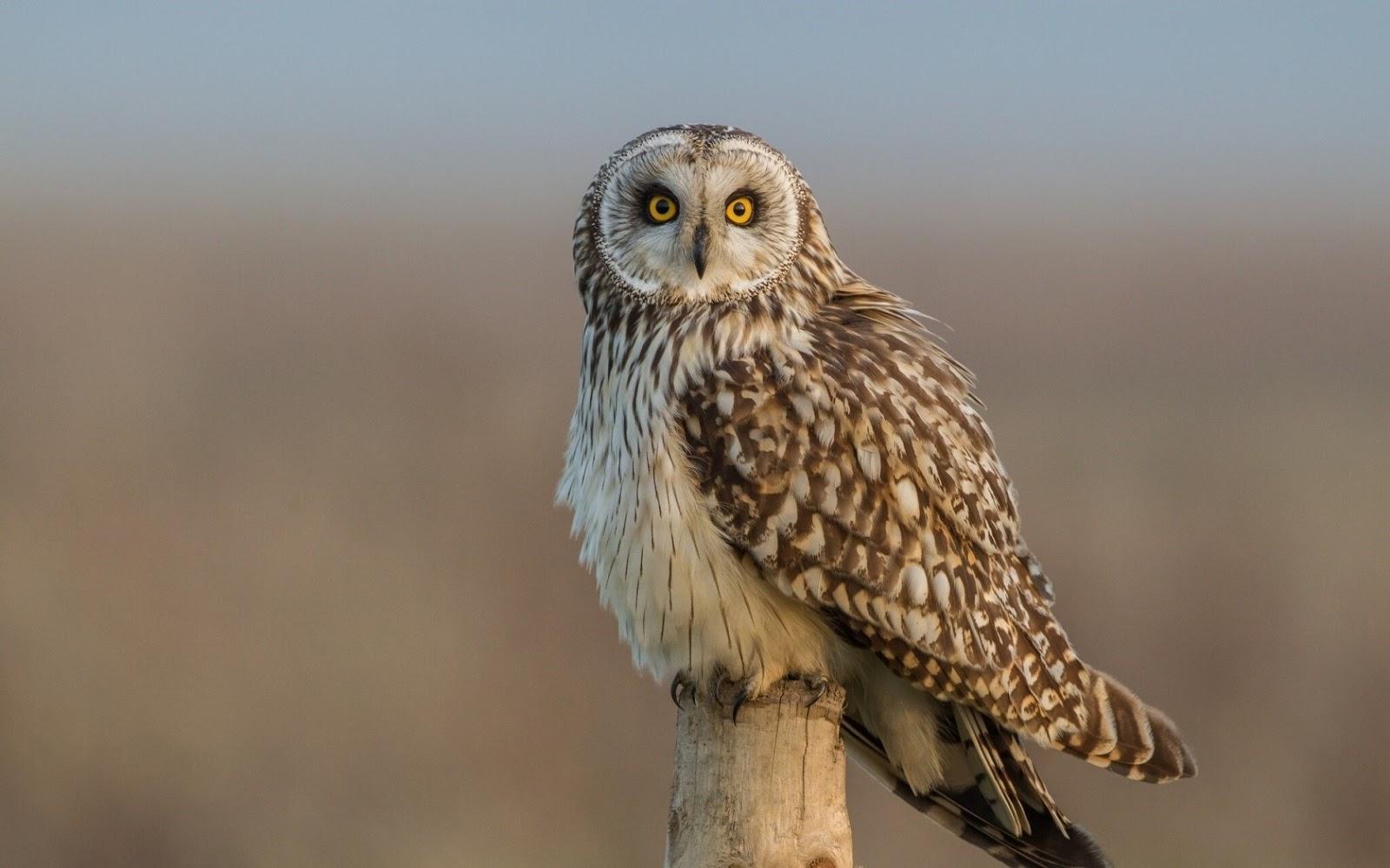 Glaucus Atlanticus Owl - HD Wallpapers | ...