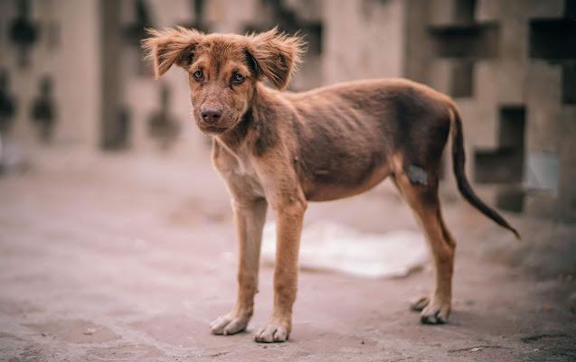 rabies virus in dogs