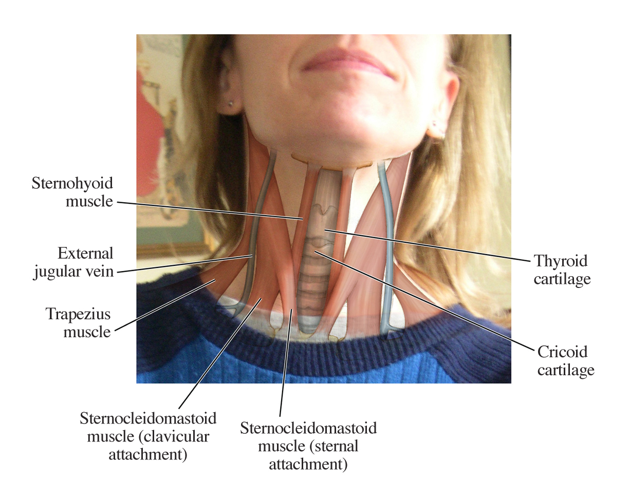 parts of the throat diagram power wiring human anatomy for artist up close and personal let h