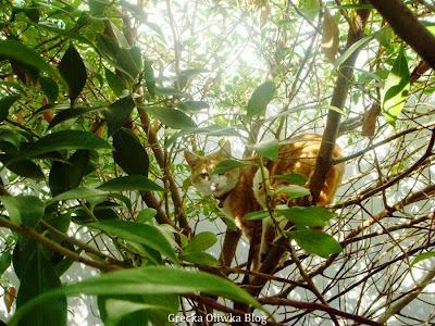 rudy kot na ulistnionych gałęziach drzewa