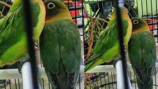 Burung 'Legenda' Lovebird Kusumo yang Ditawar Rp 2 Miliar Telah Tiada