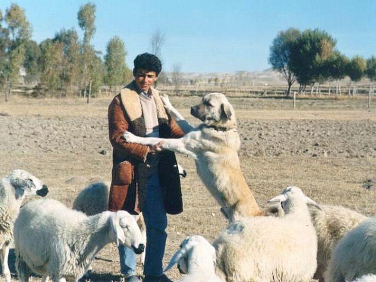 Cute Dogs: Anatolian shepherd dog