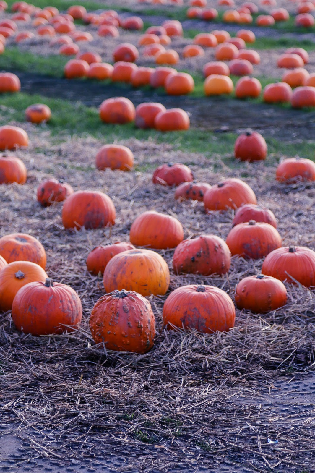 low angle photo of the pumpkin patch at M&D's with orange pumpkins in a row on the grass.