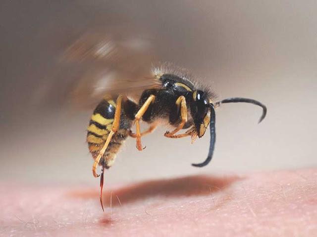 11 Cara Alami Mengobati Bengkak Akibat Disengat Lebah