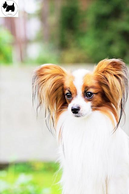 Cutest Dog Breeds, Best Dog, Papillon Dog puppies