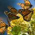 Abrirán los santuarios de la Mariposa Monarca el sábado 28 de noviembre