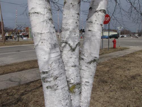 urban white birch tree