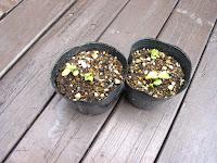 バナバの新芽