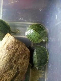 kura-kura-brazil-anak.jpg