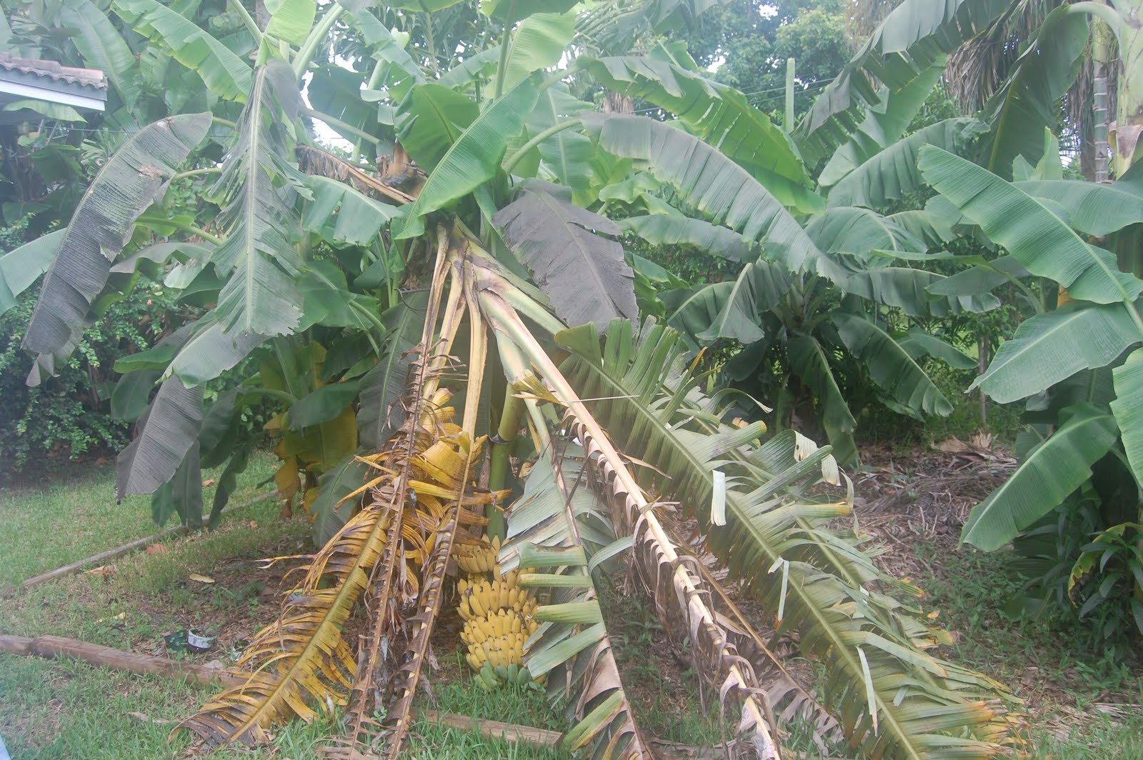 how to keep bananas from ripening too fast