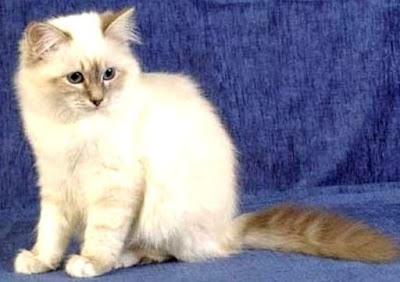 Kucing Birma