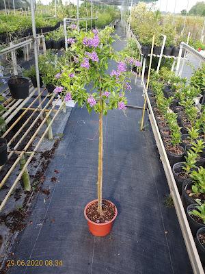 Cây chuỗi ngọc tím dạng cây tree cao 1m