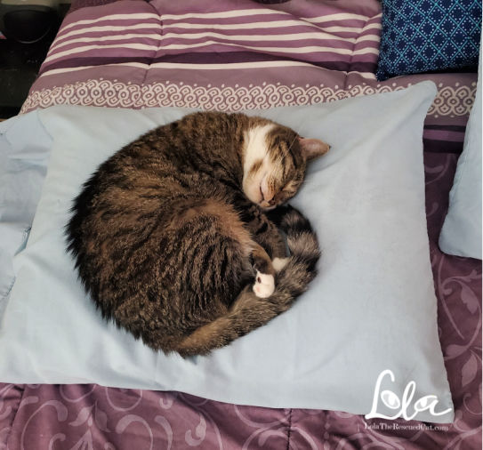 Cat Friendly Home tabby cat sleeping on a pillow