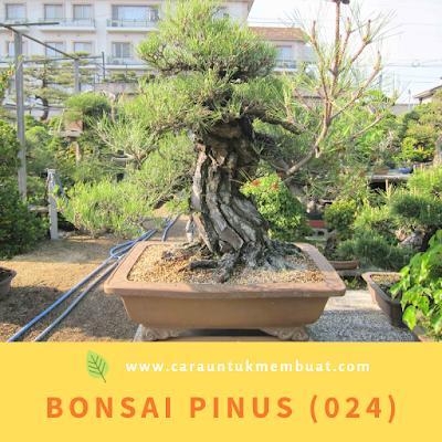 Bonsai Pinus (024)