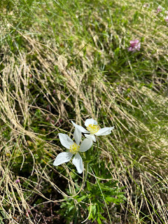 [Ranuculaceae] Anemone narcissiflora –  Narcissus Anemone (Anemone a fiore di narciso).