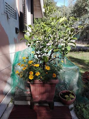 Ottobre nell'orto di Elle e Alli: il tagete e il limone.
