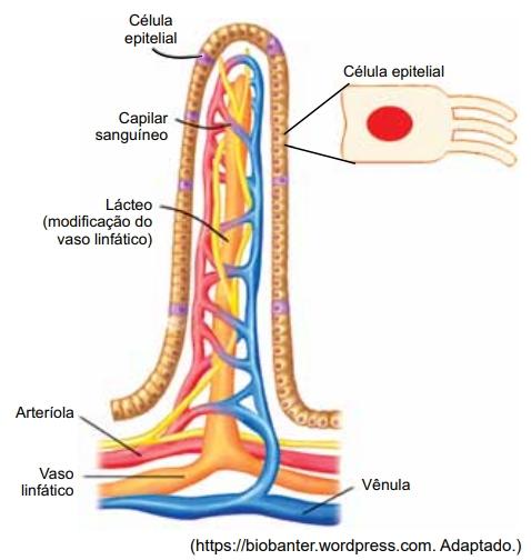 SANTA CASA 2021: A figura ilustra a composição vascular e o tecido epitelial de um órgão do sistema digestório humano.