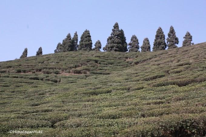 ネパール紅茶の名産地