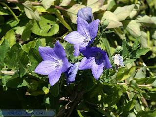 Platycodon à grandes fleurs - Campanule à grandes fleurs - Platycodon grandiflorum