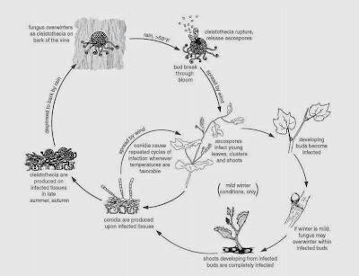 Molecular Biology & Biotechnology of Grapevine