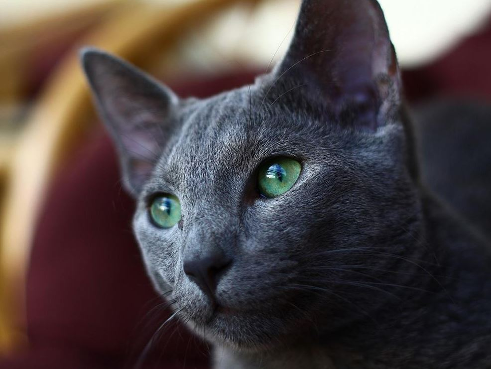 Green Eyes of Russian Blue Cat