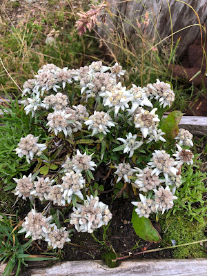 [Asteraceae] Leontopodium sp. – Edelweiss (Stella alpina)