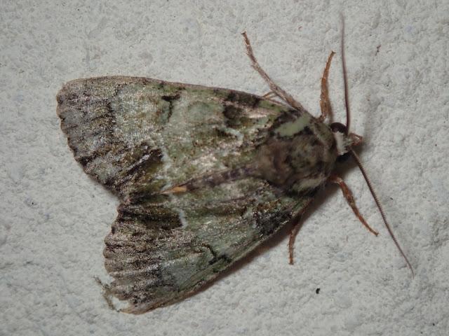 Polyphaenis sericata