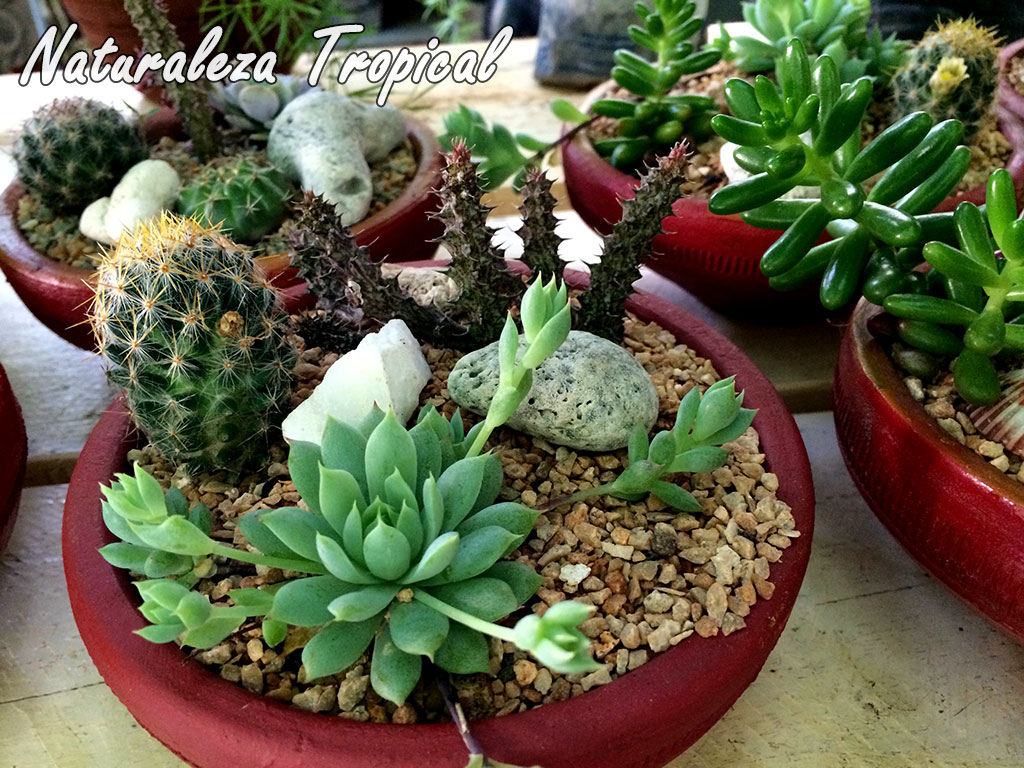 Naturaleza tropical manual para cultivar plantas for Tipos de cactus y suculentas