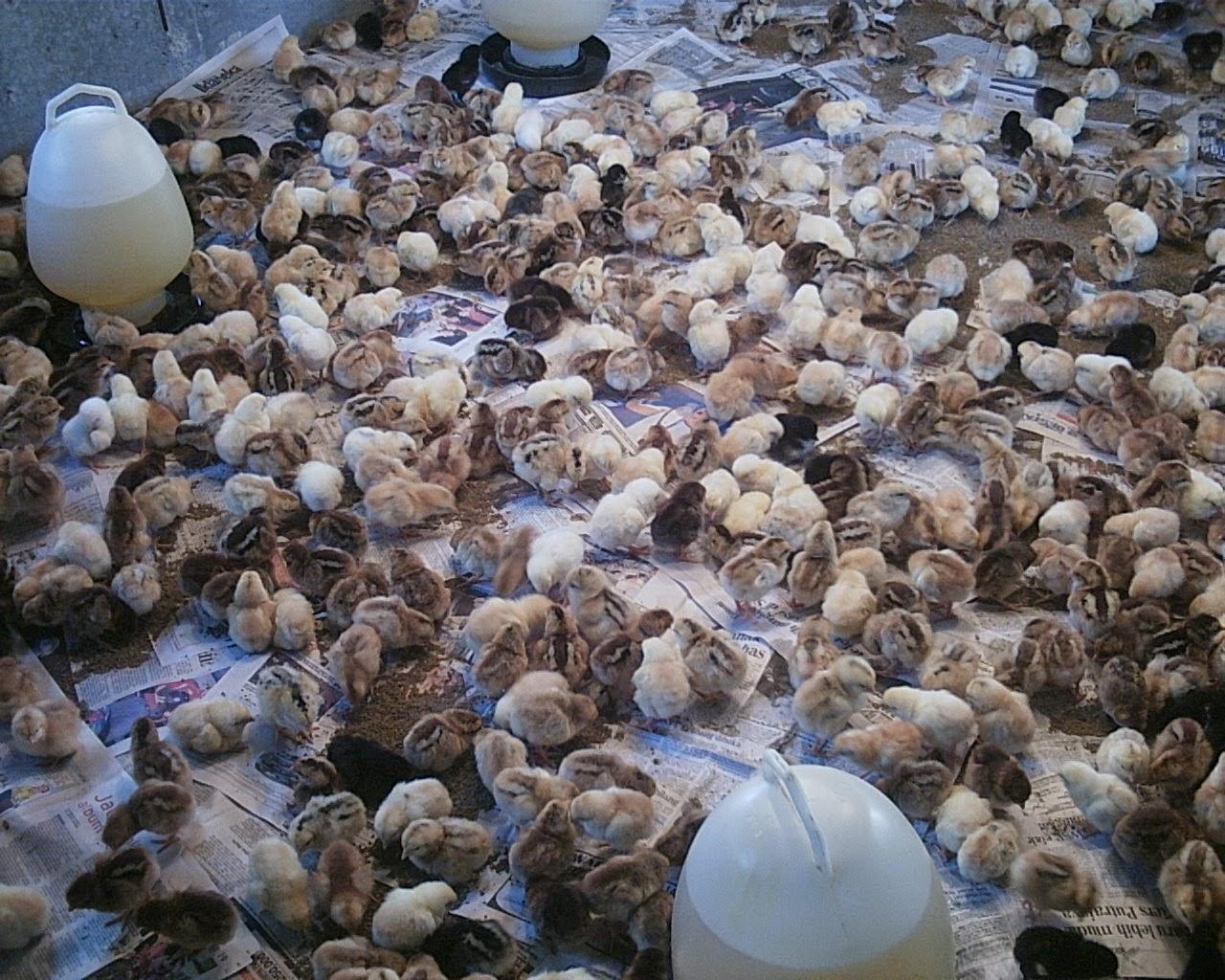 Informasi yang banyak sangat membantu bagi kita untuk melancarkan perjuangan yang sedang kita  Kabar Terbaru- Tips Meningkatkan Produksi Telur Ayam Kampung