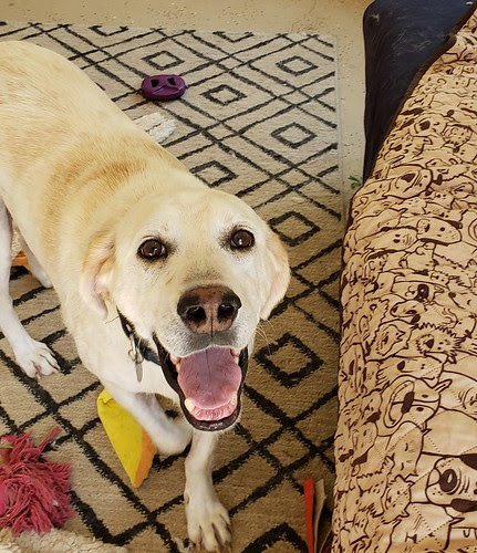 Yellow Labrador Retriever Dog Adoption
