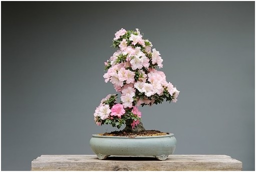 Bonsai com flores rosas