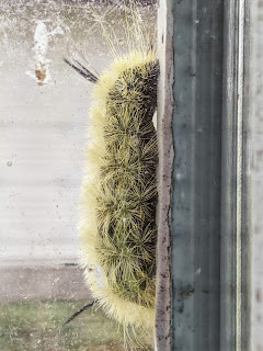 Caterpillar Of The American Dagger Moth