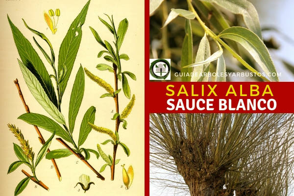 El Salix alba, Sauce blanco, tiene hojas lanceoladas sostenidas por un corto rabillo