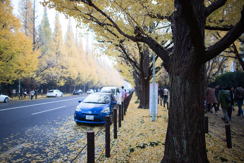 Meiji Jingu Gaien is not only a baseball stadium, but in autumn 146 ginkgo trees
