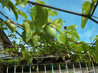 Passiflora edulis var. flavicarpa siembra en maceta
