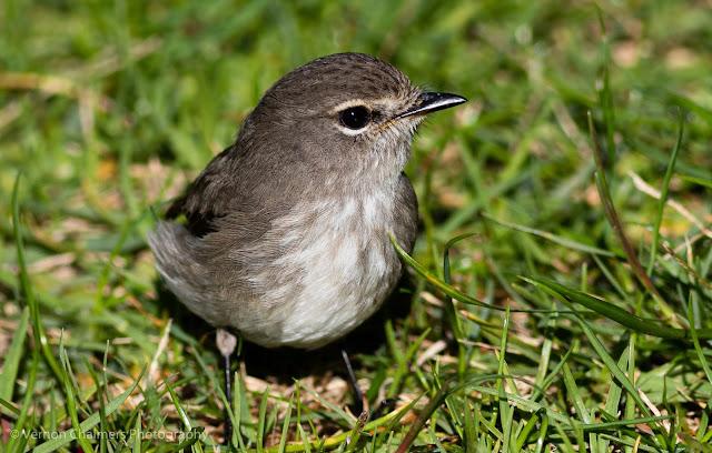 Dusky Flycatcher Bird Kirstenbosch National Botanical Garden Cape Town Vernon Chalmers Photography