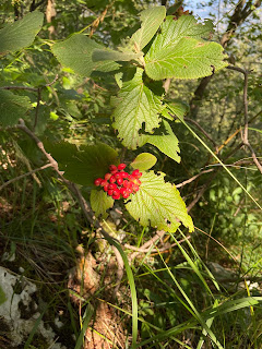 [Adoxaceae] Viburnum lantana - Wayfaring Tree (Viburno lantana)