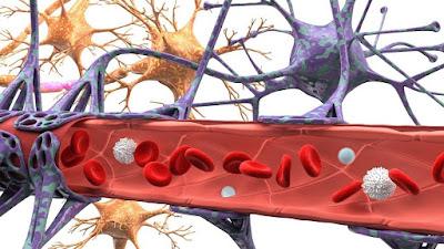 endotel yapı