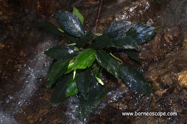 Aroid plant of Tropical Rainforest of Heart of Borneo