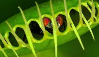 jenis tanaman karnovora