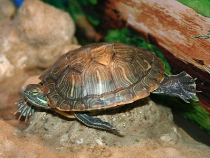 Jenis Kura-kura Brazil