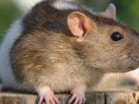 20 Cara Mengusir Tikus Dari Rumah (99% Terbukti)